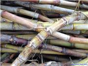 Miyakojima Sugar Cane, uploaded by Mick Rich