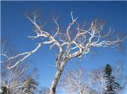 Interesting tree along ski resort boundary, uploaded by RedLotus  [Furano, Furano City, Hokkaido]