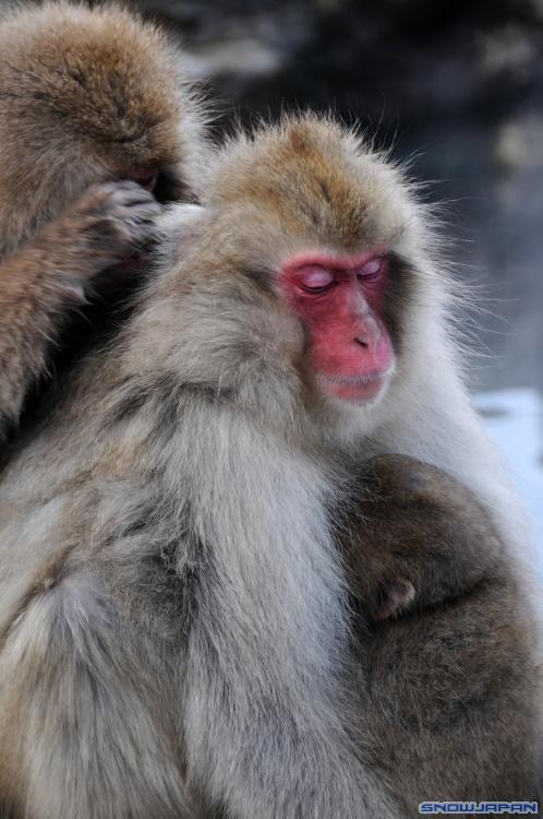 The Snow Monkeys Of Jigokudani Japanese Macaque Monkeys Bathing In