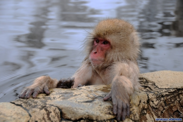 how to say monkey in japanese